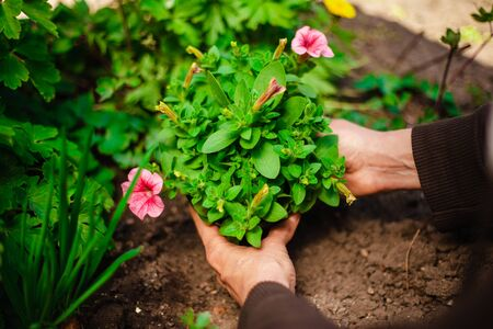 Beautiful pink flower in the garden being replanted by a woman. Hands of a garderner covering a small flower prepared to be put into soil. Horticulture and home garden concept