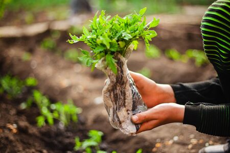 Closeup of a tomato seedling in the hands of a young boy ready to plant it into the soil at the garden. Home grown vegetables and healthy food care. Horticulture and home garden concept