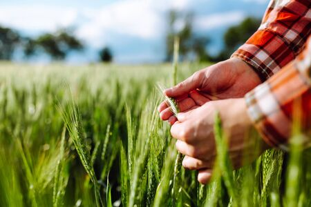 Farmer touches the spikelets of young green wheat and checking the ripeness level of the harvest. Agronomist analyzes the growing grains on the field. Agricultural and farm concept