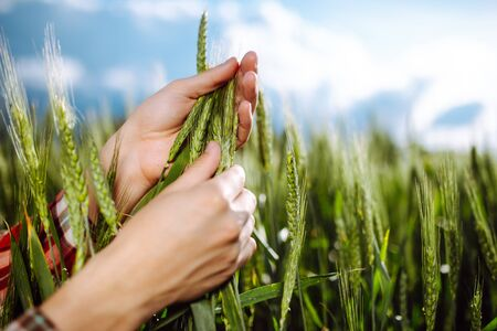 Farmer touches the spikelets of young green wheat and checking the ripeness level of the harvest. Agronomist analyzes the growing grains on the field. Agricultural and farm concept Foto de archivo