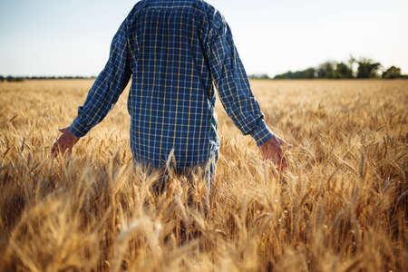 Farmer walks through the field touching wheat sprouts with his hand. Man checking wheat crop by holding the ears spikelets of the new harvest. Agricultural, grain and farm concept Reklamní fotografie - 152368030