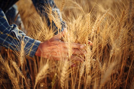 Close up of a male farmer holding a few ears spikelets of wheat together on the field checking the quality of the new harvest. Grain sprouts in the hands of a farm worker. Agricultural concept Reklamní fotografie - 152368032