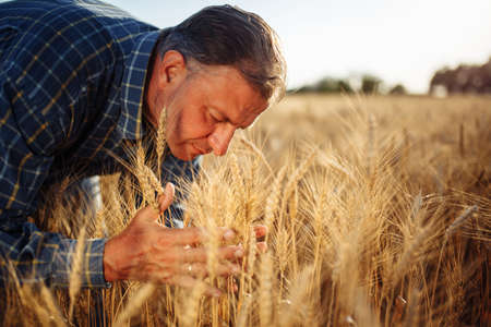 Close up of a male farmer holding a few ears spikelets of wheat together on the field checking the quality of the new harvest. Grain sprouts in the hands of a farm worker. Agricultural concept Reklamní fotografie