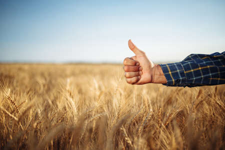 Close up of a male farmer's hand showing thumb up like sign on the wheat field. Farmer worker glad with a good fruitful crop harvest of this year. Agricultural and farm concept Reklamní fotografie - 152368034