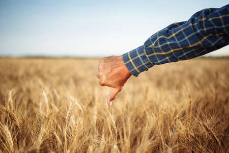 Close up of a male farmer's hand showing thumb down dislike sign on the wheat field. Farmer worker disappointed with a bad little crop harvest of this year. Agricultural and farm concept Reklamní fotografie - 152368039