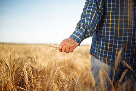 Farmer holds a few spikelets of wheat in his hand standing in the middle of the grain field. Man working on the farm checking the new harvest touching ears of the wheat. Agricultural concept