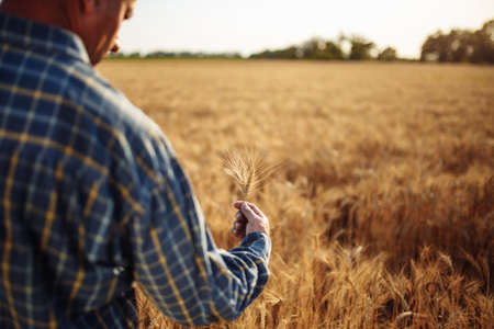 Farmer holds a few ears of wheat in his hands checking the quality of the new harvest on the grain field. A man touches the spikelets to see if they are ripen already. Agricultural concept Reklamní fotografie - 152367180