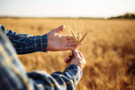 Farmer holds a few ears of wheat in his hands checking the quality of the new harvest on the grain field. A man touches the spikelets to see if they are ripen already. Agricultural concept