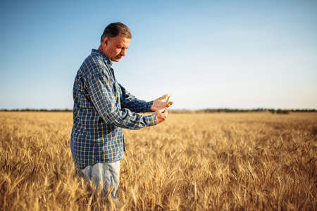 Farmer holds a few ears of wheat in his hands checking the quality of the new harvest on the grain field. A man touches the spikelets to see if they are ripen already. Agricultural concept Reklamní fotografie - 152367182