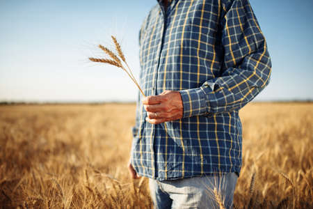 Farmer holds a few spikelets of wheat in his hand standing in the middle of the grain field. Man working on the farm checking the new harvest touching ears of the wheat. Agricultural concept Reklamní fotografie - 152368045