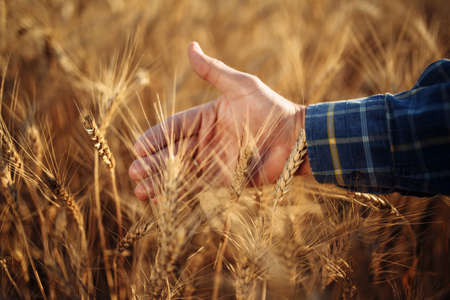 Close up of a farmer's hand touching the ears of wheat on the field. The farm worker checking the quality of the new crop harvest looking at the spikelets full of grain. Agricultural concept Reklamní fotografie - 152670018