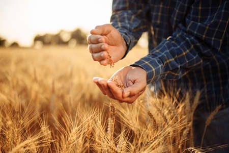 Farmer stands among the ears of wheat pours grains from hand to hand checking the quality of the new crop. Farm worker prepares for harvest analyzes wheat grade. Agriculture and business concept Reklamní fotografie - 152670019