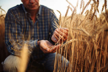 Farmer sitting among the ears of wheat pours grains from hand to hand checking the quality of the new crop. Farm worker prepares for harvest analyzes wheat grade. Agriculture and business concept Reklamní fotografie - 152670020