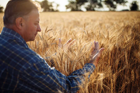 Farmer wraps around a sheaf with his hands and checks the quality of the wheat ears on the field. Farm worker holds a few spikelets of new grain harvest. Agricultural concept Reklamní fotografie - 152670022