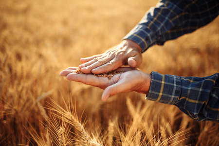 Close up of the farmer's hands rubbing spread out wheat grains checking the quality of the new year crop. Farm worker lays out the grains on his hand. Agricultural, harvest, business concept Reklamní fotografie - 152670024