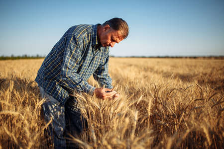 Man farmer checking the quality of wheat grain on the spikelets at the field. Male farm worker touches the ears of wheat to assure that the crop is in good condition. Agriculture, business, harvest Reklamní fotografie - 152670025