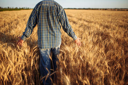 Farmer walks among golden ripen ears of wheat, touches the spikelets full of grains with his hands at the field. Farm worker checks the quality of new crop before harvesting. Rural, business concept Reklamní fotografie