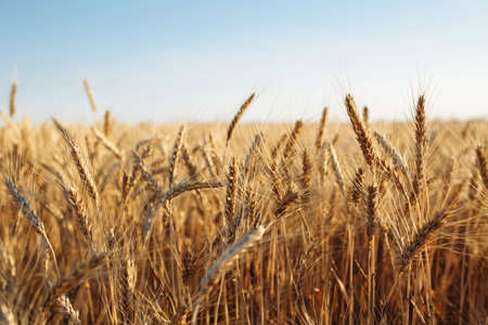 Ripen golden ears of wheat at the field. Spikelets full of grains are waiting for the harvest. Wheat sprouts growing fast and ready to be collected. Agricultural, business, crop and nature concept Reklamní fotografie - 152670029