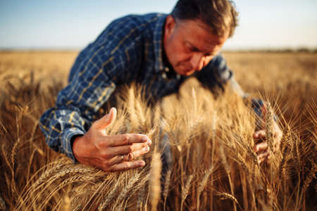 Farmer wraps around a bunch of ears of wheat at the field with his hands checking quality of the crop. Male farm worker touches the spikelets full of grains. Agriculture, business, harvest concept Reklamní fotografie - 152670030