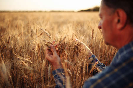 Farmer sits among golden ripen ears of wheat checking the crop specifications before harvesting. Farm worker looking at grown up grain spikelets. Agriculture, business and rural concept Reklamní fotografie - 152670034