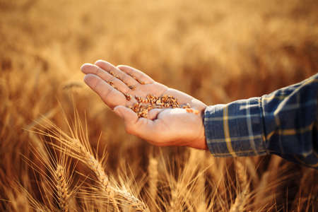 Close up of the farmer's hand holding spread out wheat grains checking the quality of the new year crop. Farm worker lays out the grains on his hand. Agricultural, harvest, business concept
