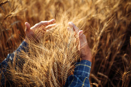 Close up of a farmer wraps around a sheaf with his hands and checks the quality of the wheat ears on the field. Farm worker holds a few spikelets of new grain harvest. Agricultural concept