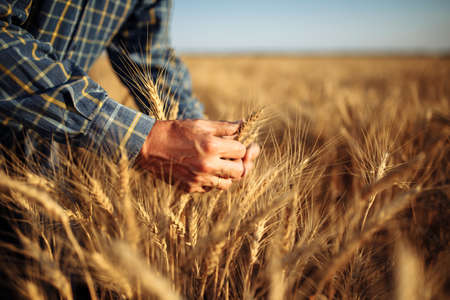 Man farmer checking the quality of wheat grain on the spikelets at the field. Male farm worker touches the ears of wheat to assure that the crop is in good condition. Agriculture, business, harvest