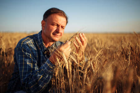 Farmer sits among golden ripen ears of wheat checking the crop specifications before harvesting. Farm worker looking at grown up grain spikelets. Agriculture, business and rural concept Reklamní fotografie - 152670043