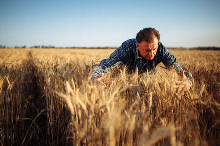 Farmer wraps around a bunch of ears of wheat at the field with his hands checking quality of the crop. Male farm worker touches the spikelets full of grains. Agriculture, business, harvest concept Reklamní fotografie