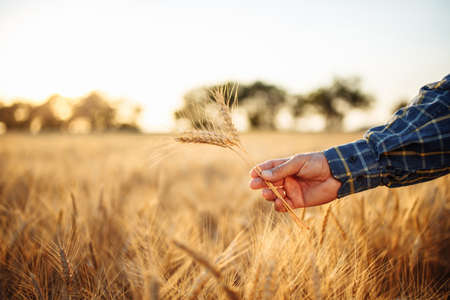 Close up of a farmer's hand holding a few grain spikelets at the golden field. Farm worker's hand with several ripen ears of wheat showing the quality of the crop. Rural, business, harvest concept