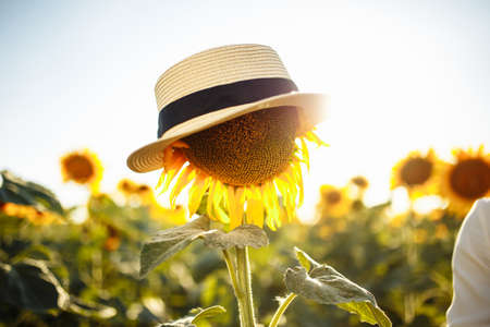 Single sunflower in a hat on the background of a field of sunflowers on a sunny summer day. Joy, easy, happiness, freedom concept.