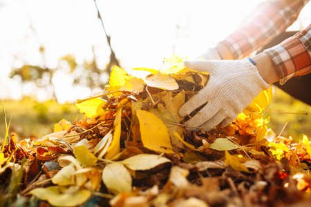 Close up of a male volunteer collects and grabs a small pile of yellow red fallen leaves in the autumn park. Cleaning the lawn from the old leaves. Gardening and seasonal communal work concept Foto de archivo