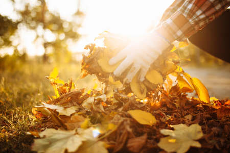 Close up of a male volunteer collects and grabs a small pile of yellow red fallen leaves in the autumn park. Cleaning the lawn from the old leaves. Gardening and seasonal communal work concept Banque d'images