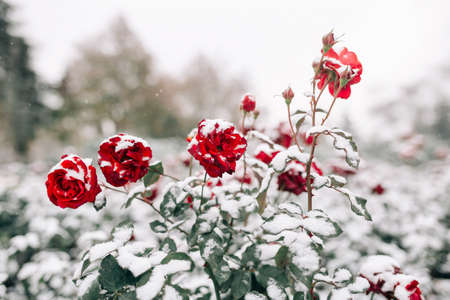 Red roses bushes covered with snow at a winter park. Green bushes of dark red roses flowers under the layer of white snow. Floristic and nature, winter holidays present concept