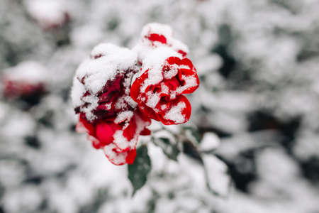Red rose on a bush covered with snow at a winter park. Green bush of dark red roses flowers under the layer of white snow. Floristic and nature, winter holidays present concept