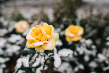 Yellow roses bushes covered with snow at a winter park. Green bushes of beautiful yellow roses flowers under the layer of white snow. Floristic and nature, winter holidays present concept