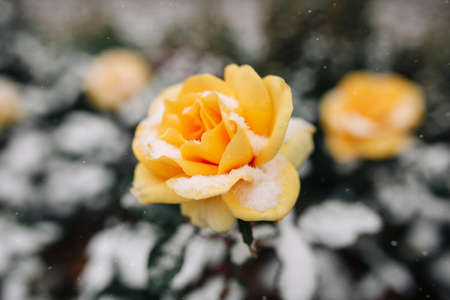 Yellow rose bush covered with snow at a winter park. Green bush of beautiful yellow roses flowers under the layer of white snow. Floristic and nature, winter holidays present concept