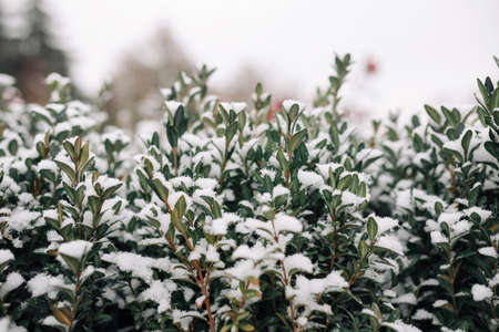 Green bushes covered with white snow at a winter frosty park. Garden bed of a green flower plants under the solid layer of pure white snow. Texture and background concept