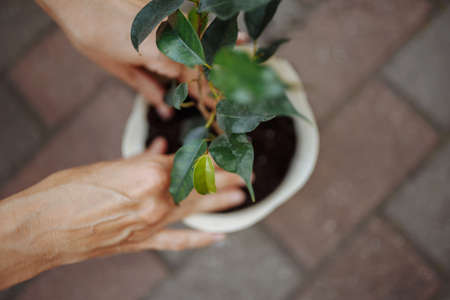 Woman planting a flower in a pot in a garden. Closeup of the female hands putting flower into the soil. Home gardening and botanic concept