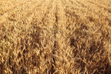 Yellow spikelets of wheat of a new season. Fields of wheat at the end of summer fully ripe. Lines of grain golden ears. New business year and season concept
