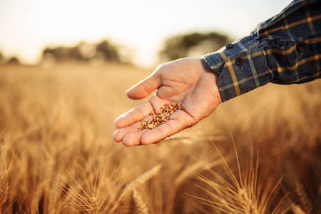 Closeup of farmer's hands with ripe golden grains. Agricultural worker stands in the middle of a wheat field checking the quality of a new harvest. Rural season concept Reklamní fotografie