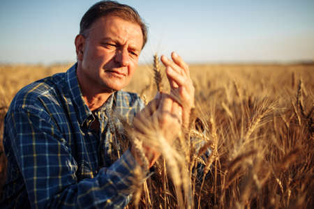 Farmer checks the quality of golden ripen spikelets on the wheat field. Closeup shot of a agricultural worker examining the ears of wheat before harvesting. New season crop concept