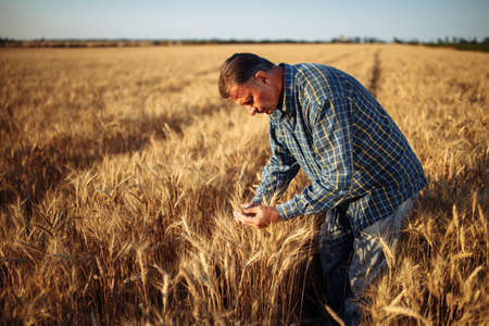 A man farmer examines the quality of the new crop of grains in the middle of the wheat field. Male standing around golden ears of wheat on a sunny day. Yellow spikelets of wheat