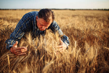 Farmer wraps around a bunch of yellow spikelets of wheat in the middle of the field. A man enjoys his job working in the field during harvesting. New crop season concept