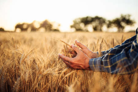 Closeup of the man's hand touching the golden ripen spikelets of wheat in the middle of the field on a sunny day. Farmer checking the quality of grains. New crop season, agricultural harvesting Reklamní fotografie