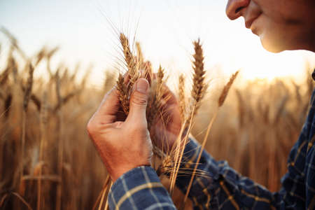 Closeup shot of a man checking the quality of the wheat spikelets on a sunset in the middle of the golden ripen field. Farm worker examines the ears of wheat before harvesting. Agricultural concept