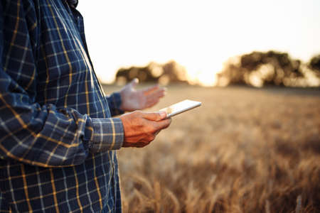 Tablet in the hands of a farmer at the golden wheat field. Spikelets of ripe grains on summer sunset. Man checks the progress of new harvest and examines statistics. New agricultural season concept