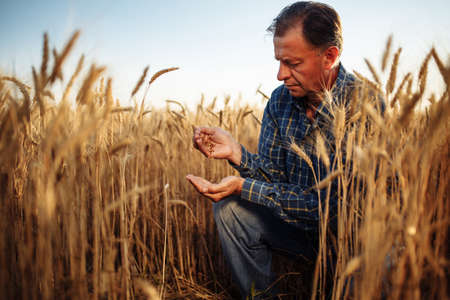 Farmer sits at the middle of the golden wheat field checking the quality of the grains. Man examines new season harvest around yellow spikelets. Agricultural concept Reklamní fotografie