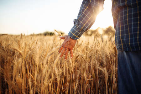 Closeup of the mans hand touching the golden ripen spikelets of wheat in the middle of the field on a sunny day. Farmer checking the quality of grains. New crop season, agricultural harvesting