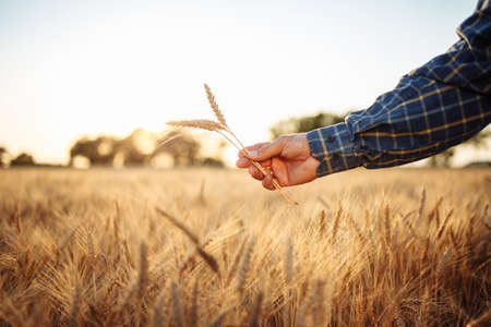Farmer's hand with the golden spikelets in it in the middle of the wheat field. Man farm worker checking quality of the wheat ears. New crop season, agriculture and harvesting concept Reklamní fotografie